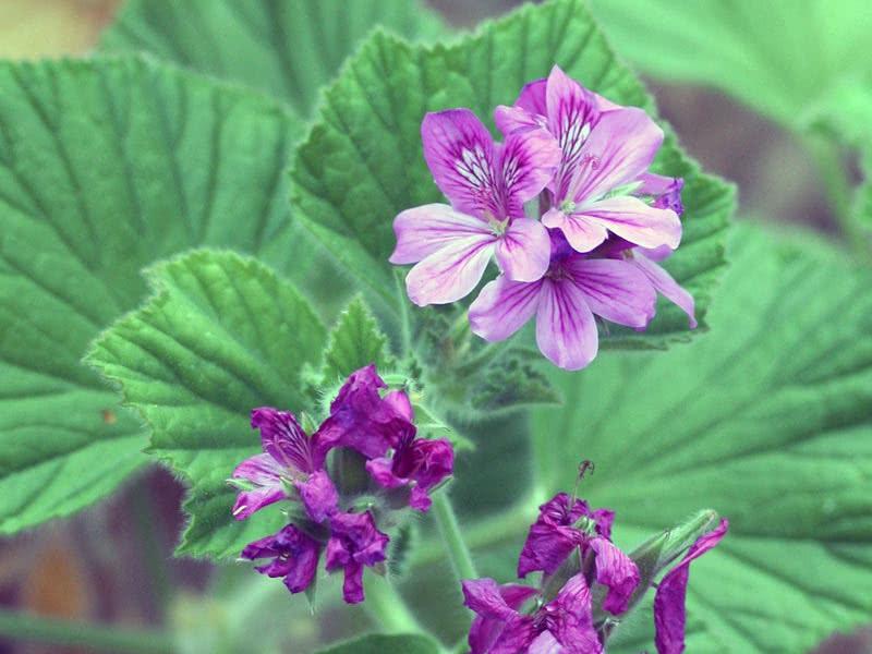 Pelargonium cucullatum / пеларгония клобучковая