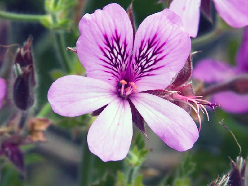 Pelargonium cucullatum / Пеларгонія клобучкова