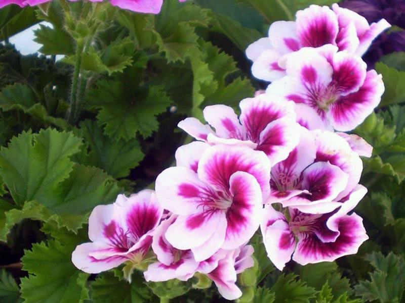 Pelargonium grandiflorum / пеларгония крупноцветковая