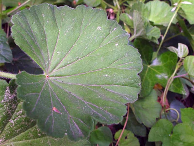 Pelargonium inquinans / пеларгония пачкающая