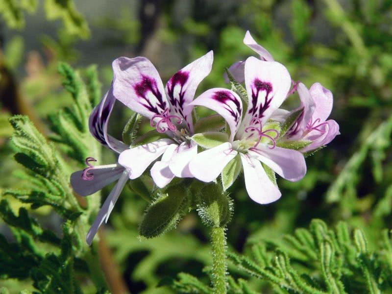 Pelargonium radens / Пеларгонія рожева