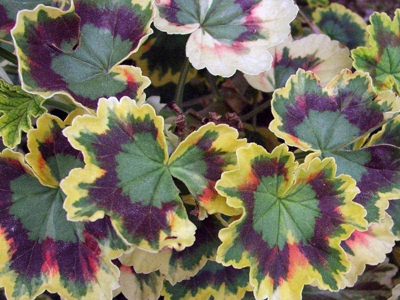 Pelargonium zonale / пеларгония зональная
