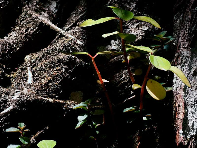 Peperomia blanda / пеперомия приятная