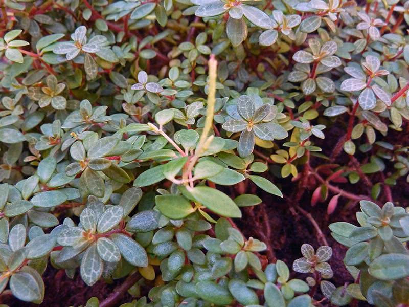 Peperomia rubella / пеперомия красноватая
