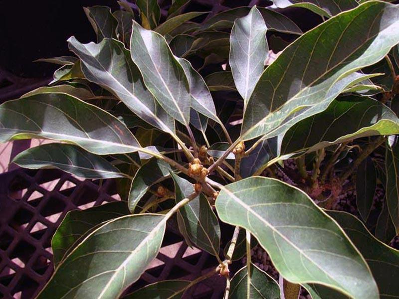 Рersea americana / авокадо (Персея американська)