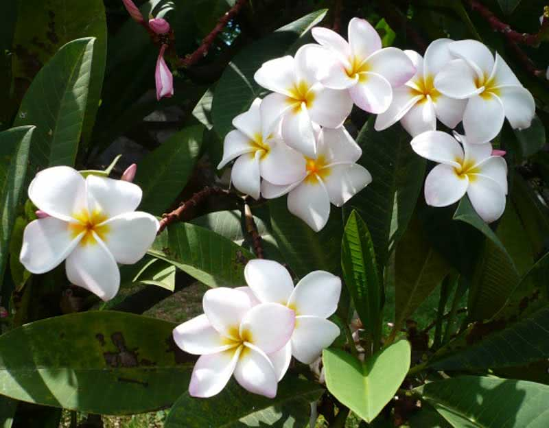 Plumeria alba / плюмерия белая