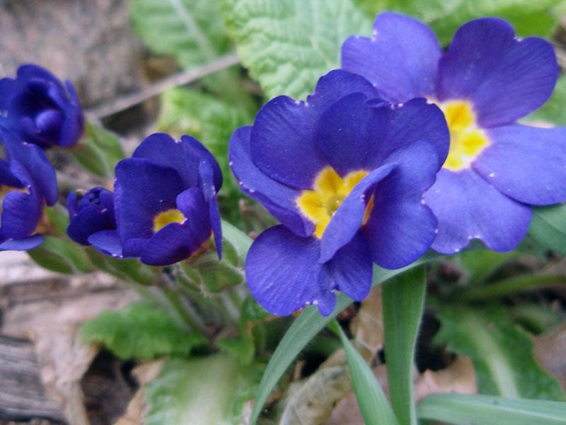 Primula acaulis / примула бесстебельная