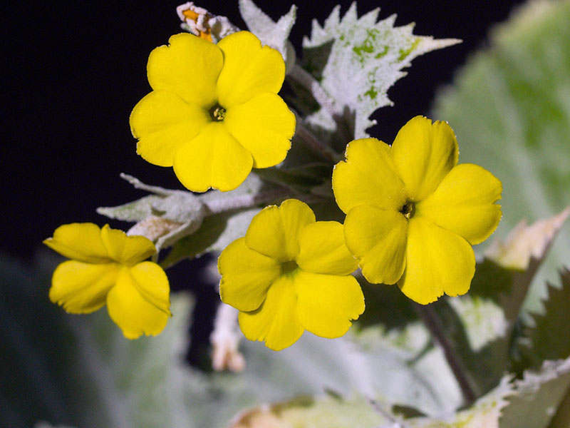 Primula kewensis / примула кьюская