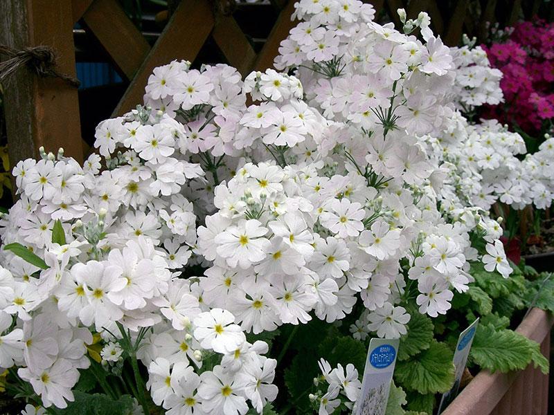 Primula malacoides / примула мягкая (мягколистная)