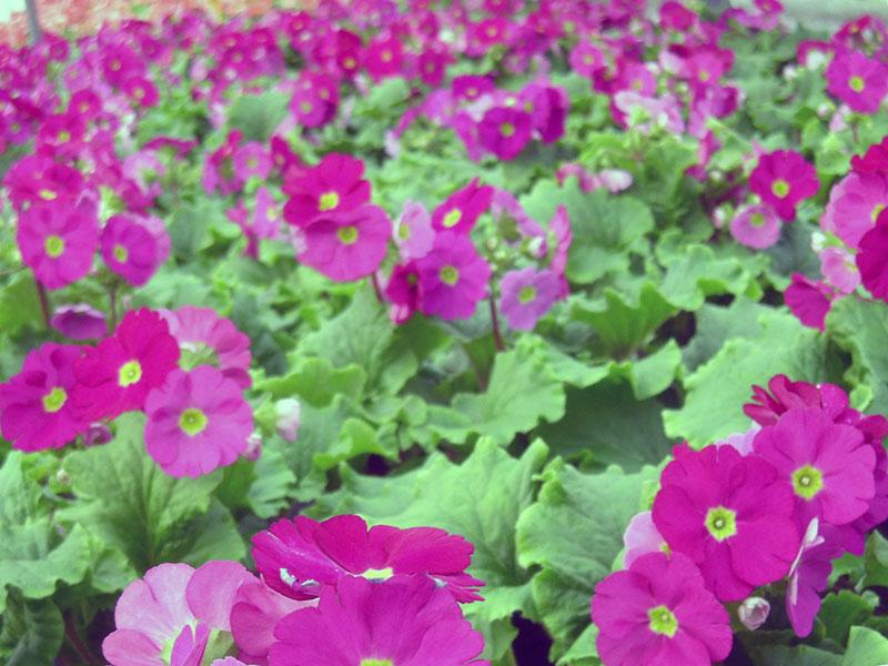 Primula obconica / примула обратноконическая