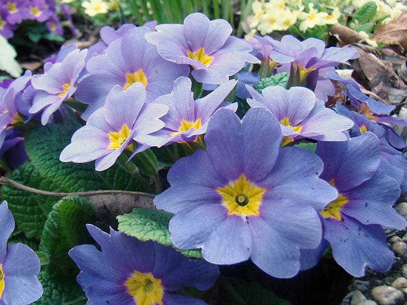 Primula vulgaris / примула обыкновенная