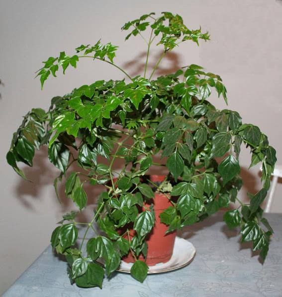Radermachera chinensis (sinica) / радермахера китайская