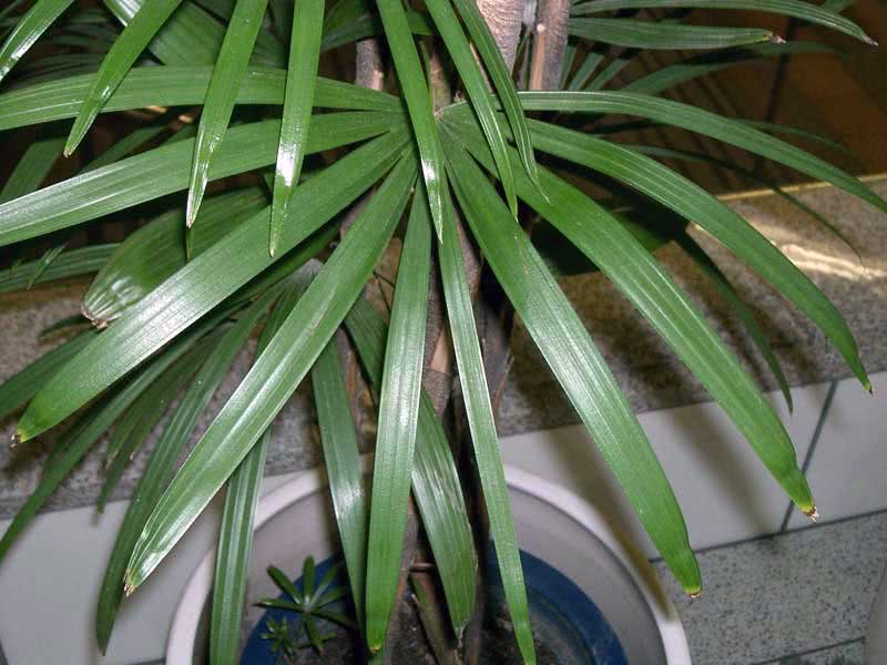Rhapis humilis / Pапіс низький