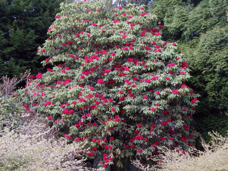 Rhododendron arboreum / Рододендрон деревоподібний