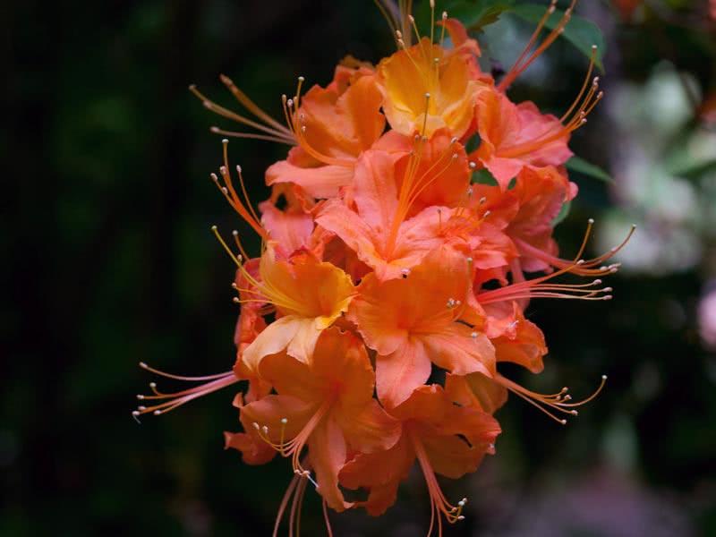 Rhododendron calendulaceum / Рододендрон нігтєподібний