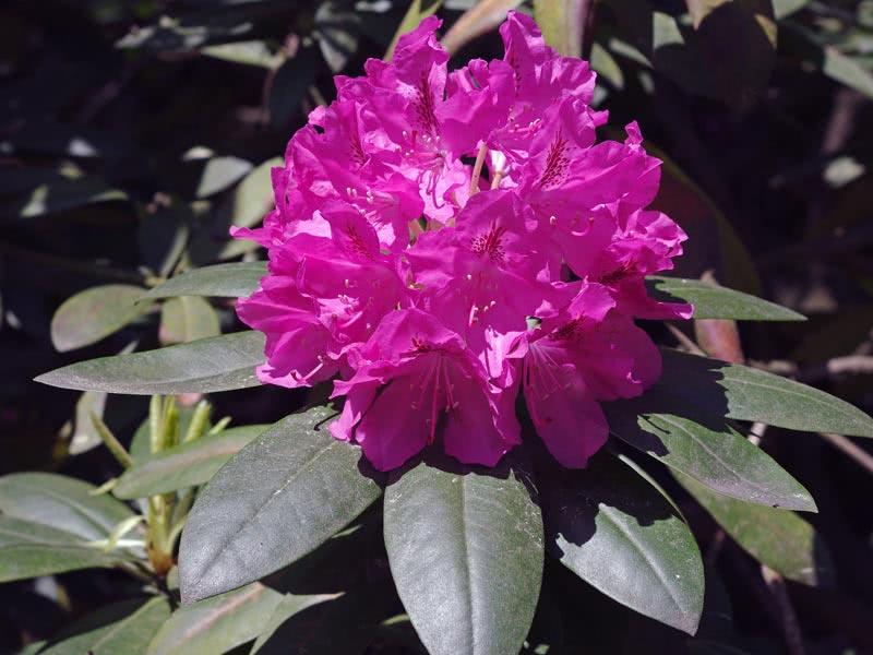 Rhododendron catawbiense / Рододендрон кетевбейський