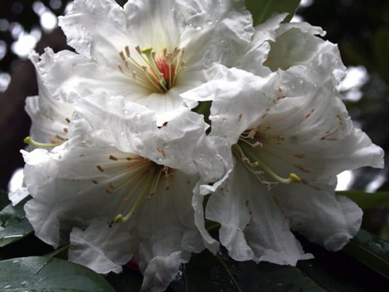 Rhododendron decorum / Рододендрон декоративний