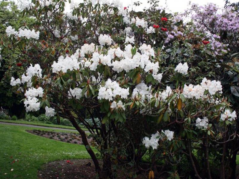 Rhododendron griffithianum / Рододендрон Гриффіца