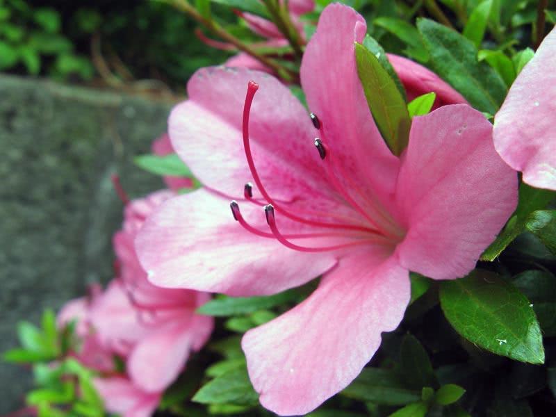Rhododendron indicum / Рододендрон індійський