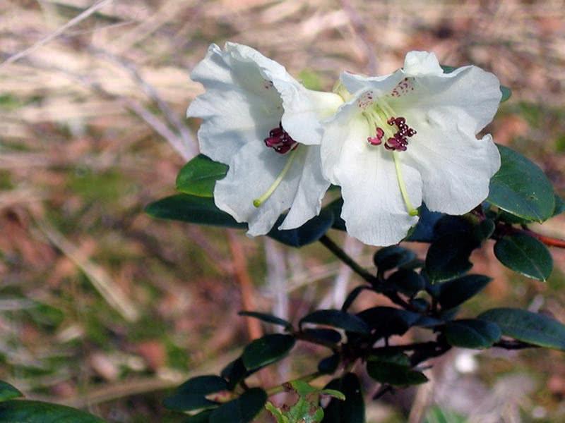 Rhododendron mucronatum / Рододендрон загострений