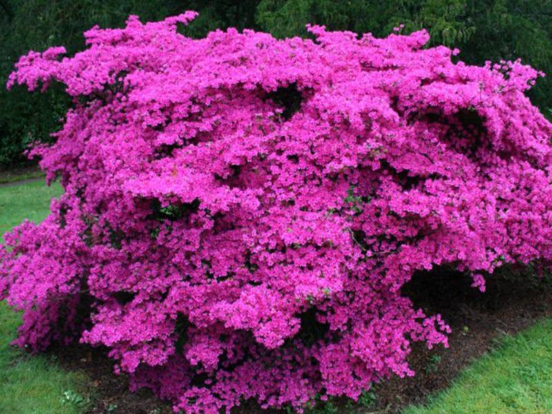 Rhododendron obtusum / Рододендрон тупий