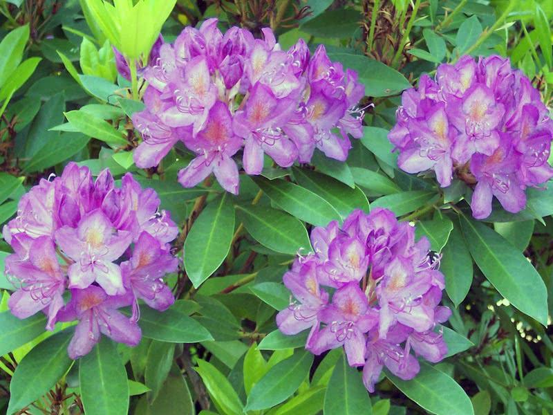 Rhododendron ponticum / Рододендрон понтійський