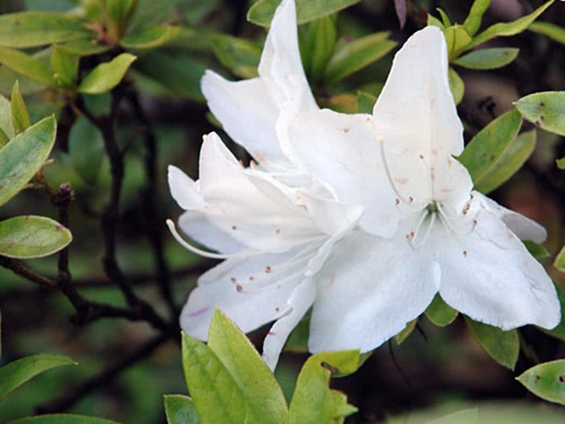 Rhododendron pulchrum / Рододендрон гарний