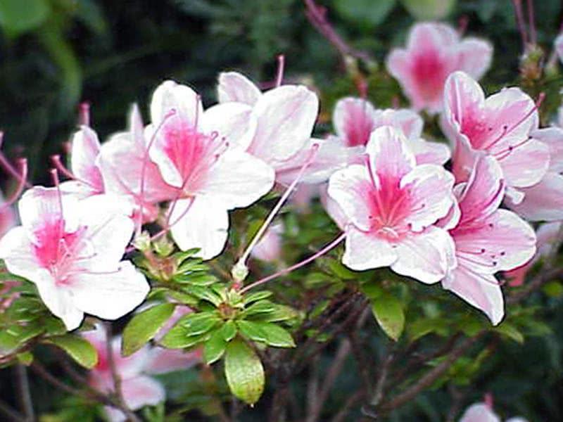 Rhododendron simsii / Рододендрон Сімса