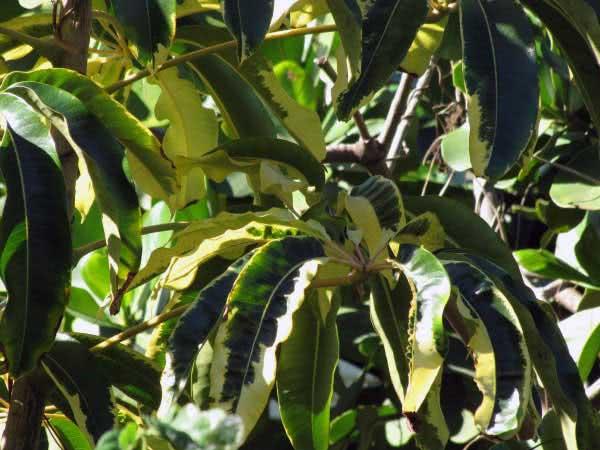 Schefflera actinophylla / шефлера лучелистная (звездолистная)