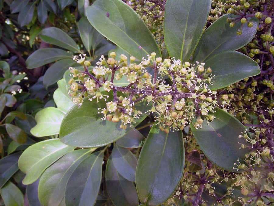 Schefflera arboricola / шефлера древовидная