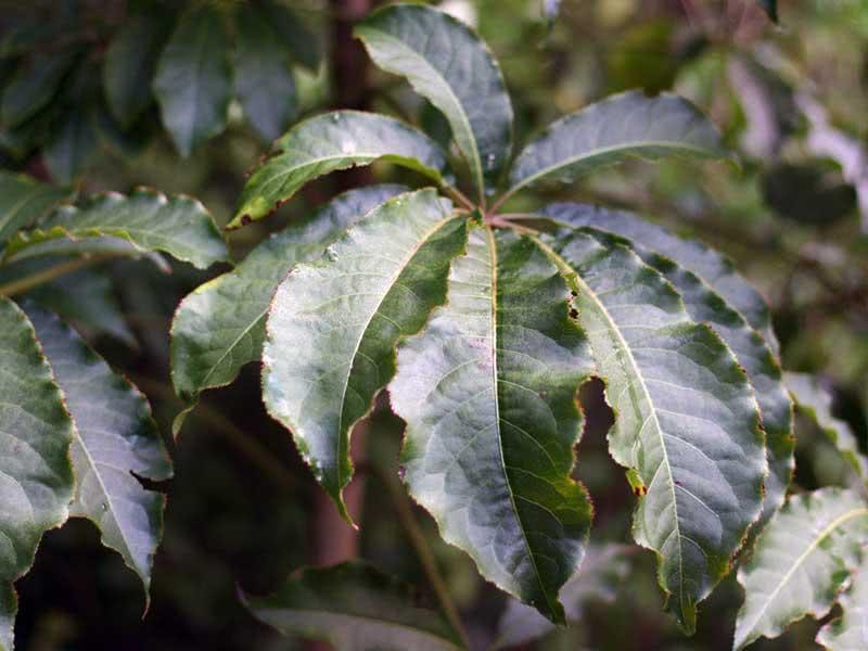 Schefflera digitata / шефлера пальчатая (восьмилистная)