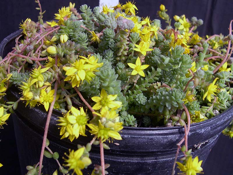 Sedum greggii (diversifolium) / очиток Грегга (різнолистий)