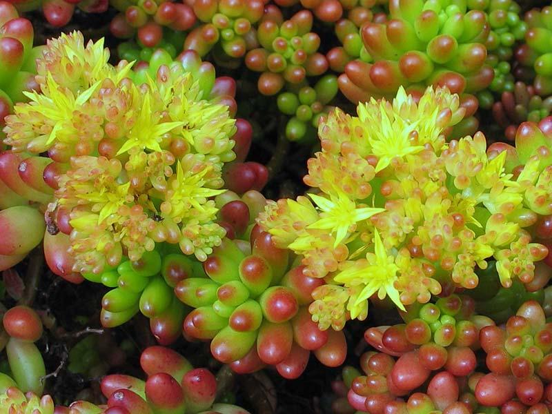 Sedum rubrotinctum / очиток червонозабарвлений