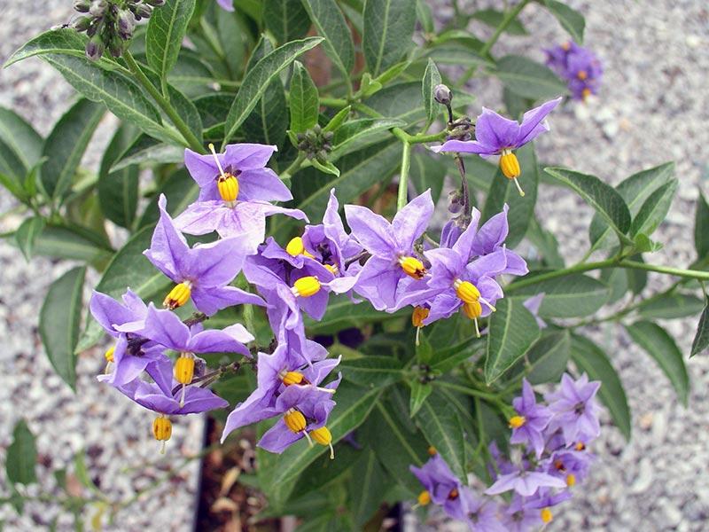 Solanum crispum / паслен курчавый