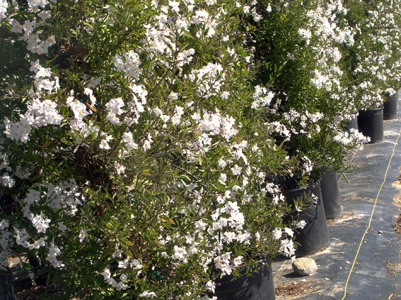 Solanum jasminoides / паслен жасминовидный