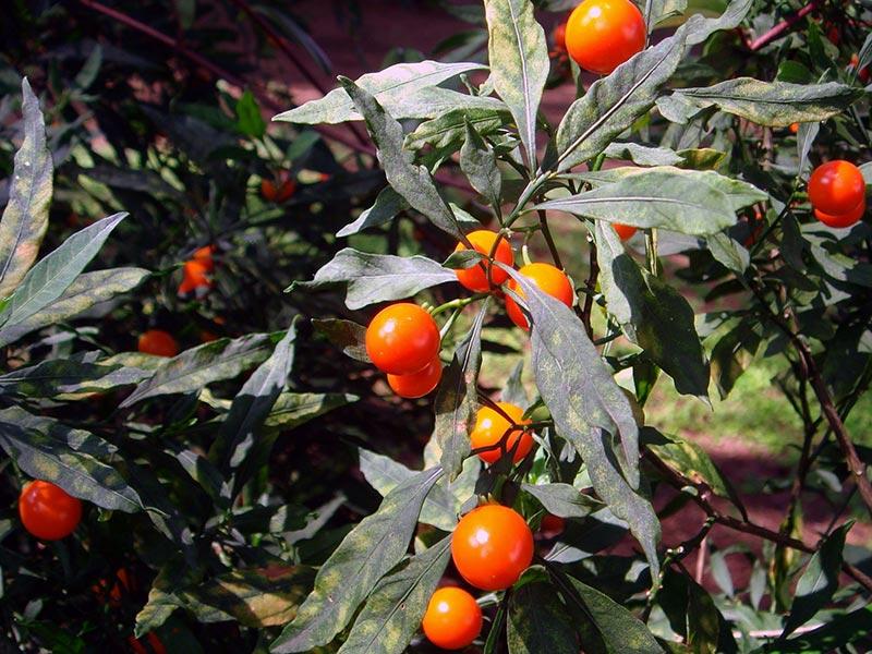 Solanum pseudocapsicum / паслен ложноперечный