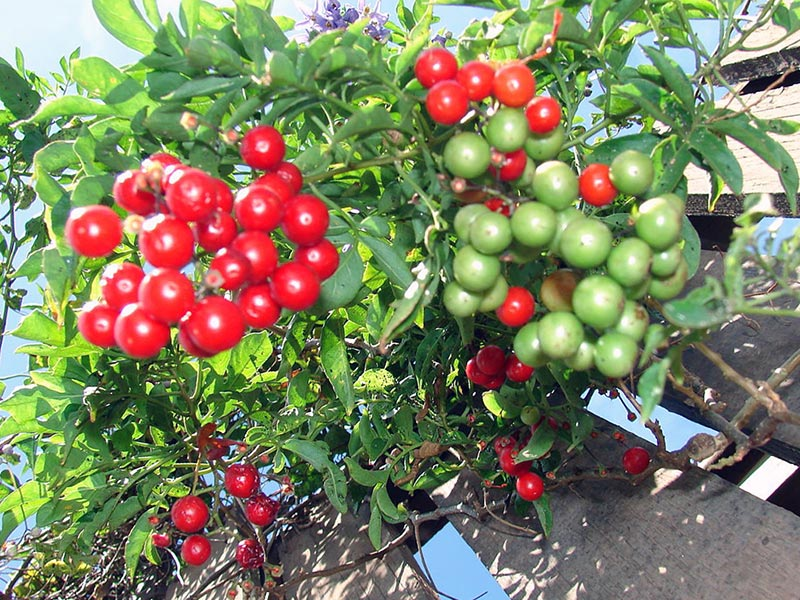 Solanum seaforthianum / паслен Зеафорта