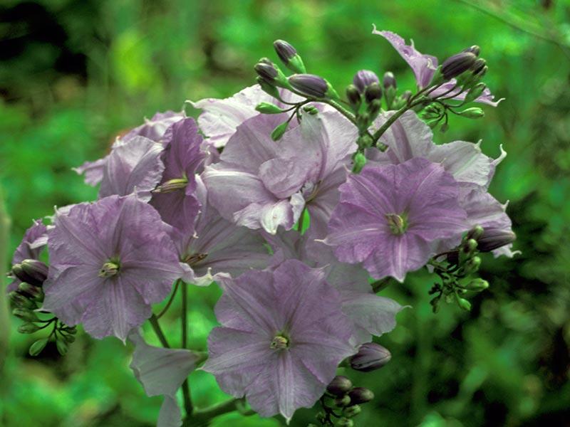 Solanum wendlandii / паслен Вендланда