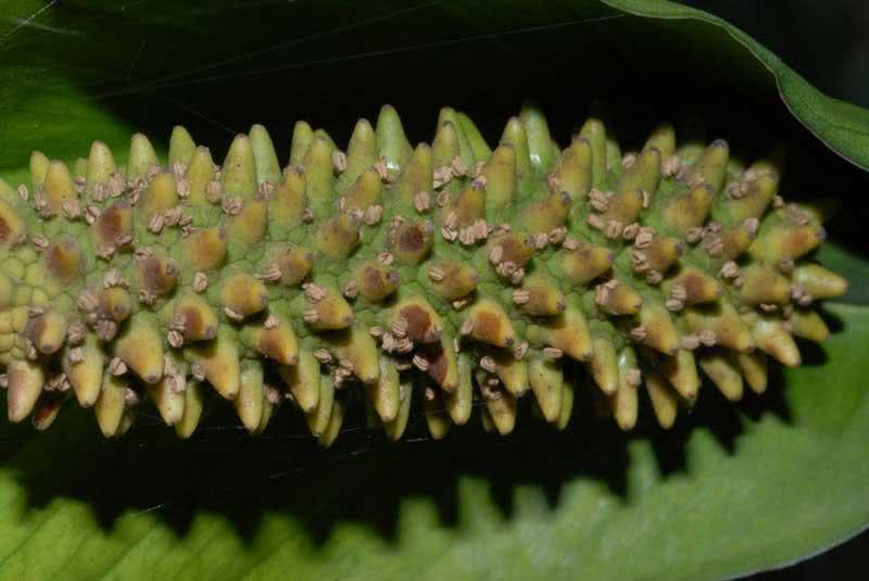 Spathiphyllum cochlearispathum / Спатіфілум ложкподібний