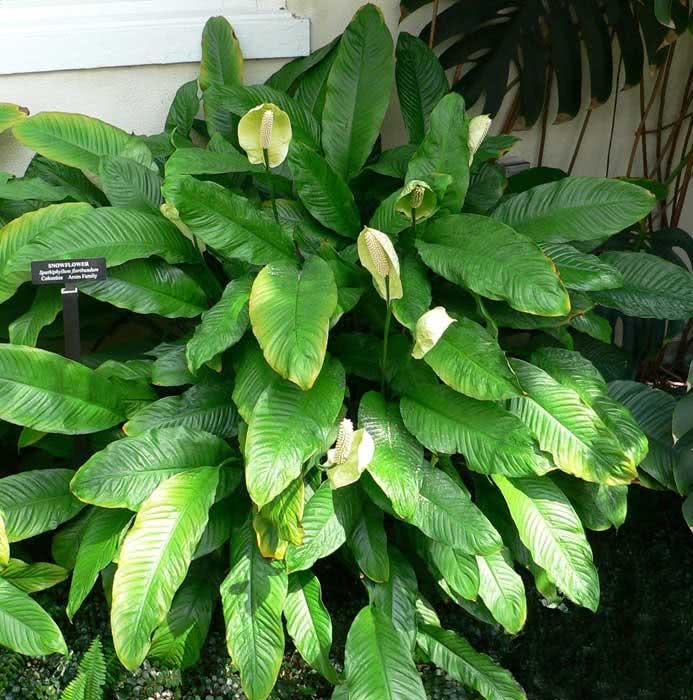 Spathiphyllum floribundum / Спатіфілум рясноквітучий