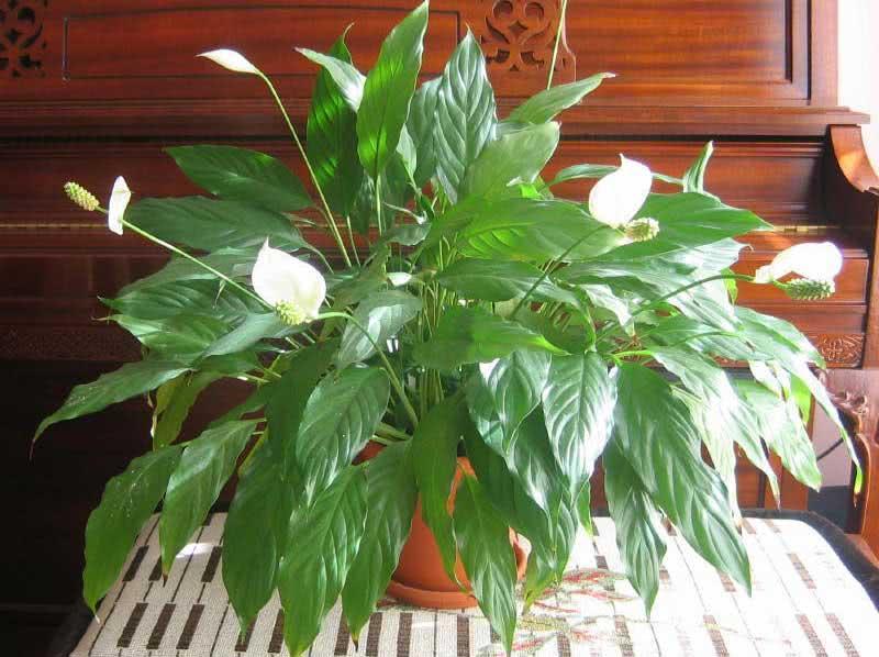 Spathiphyllum wallisii / Спатіфілум Уолліса