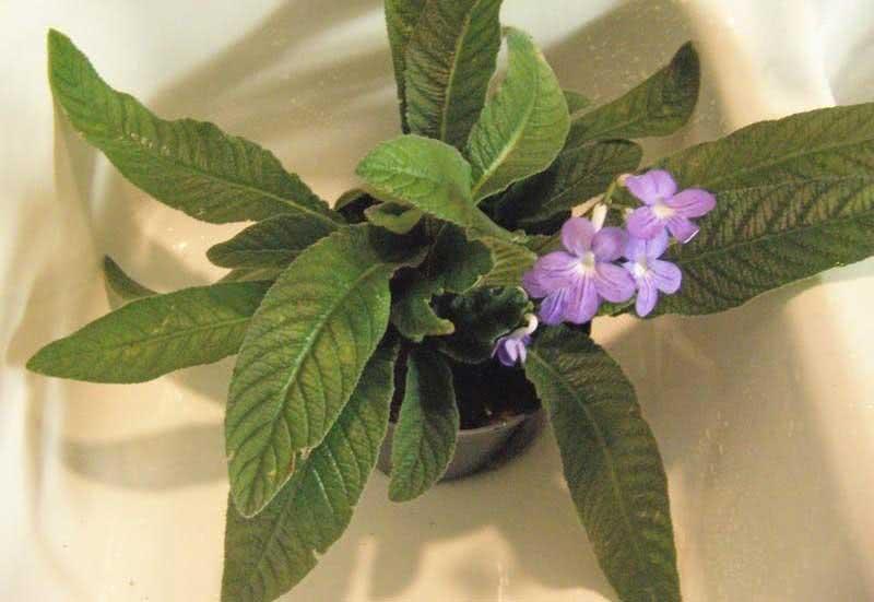 Streptocarpus candidus / Стрептокарпус білосніжний