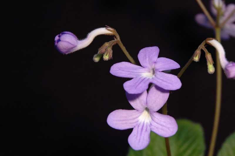 Streptocarpus johannis / Стрептокарпус йоханський