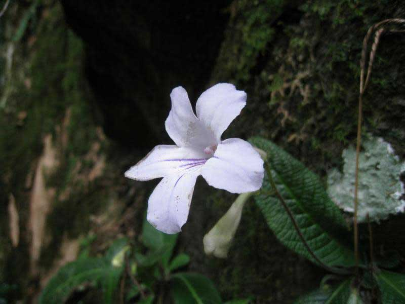 Streptocarpus rexii / Стрептокарпус короля