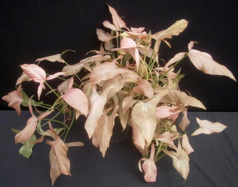 Syngonium podophyllum / сингониум ножколистный