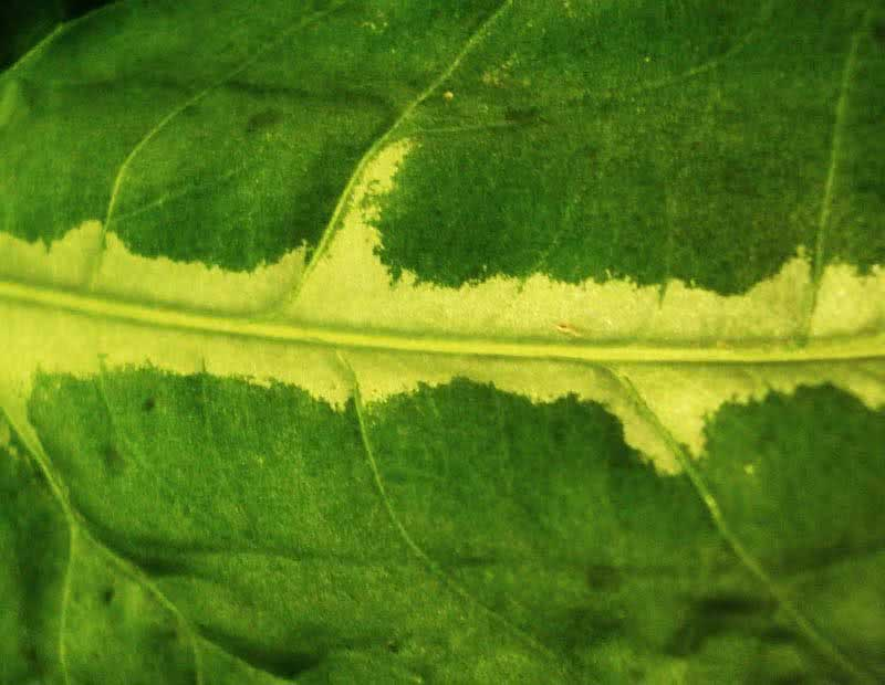 Syngonium wendlandii / сингониум Вендленда