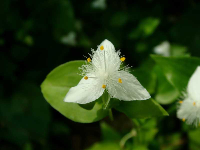 Tradescantia albiflora (tricolor or uiridis) / традесканція білоквіткова (триколірна або урідіс)