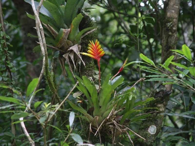 Vriesea carinata / вриезия килеватая