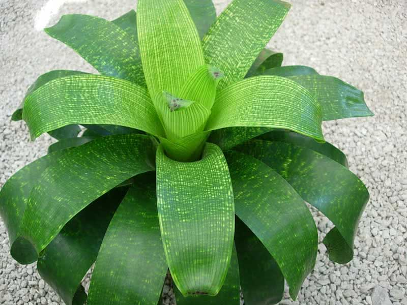 Vriesea fenestralis / вриезия продырявленная