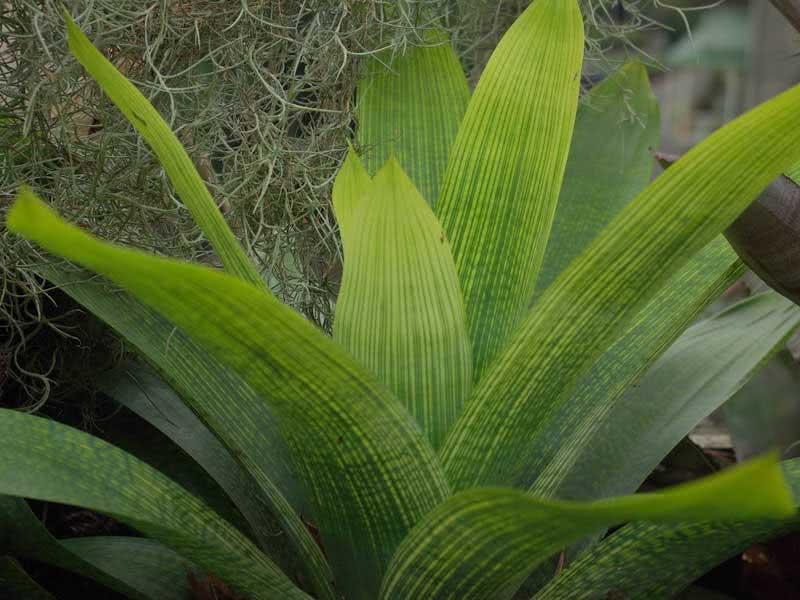 Vriesea gigantea / вриезия гигантская